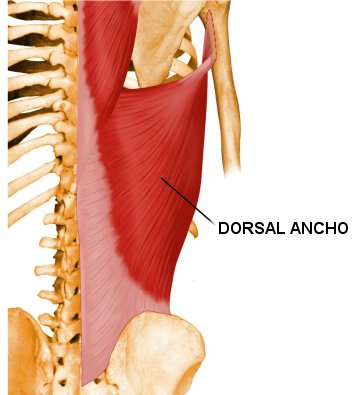 musculo-dorsal-ancho