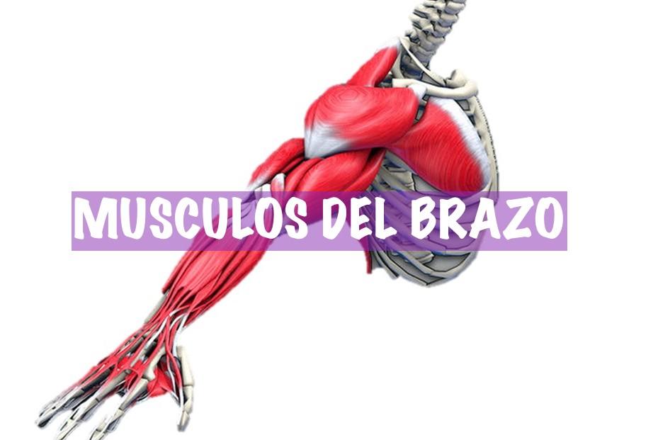 musculos-de-brazo