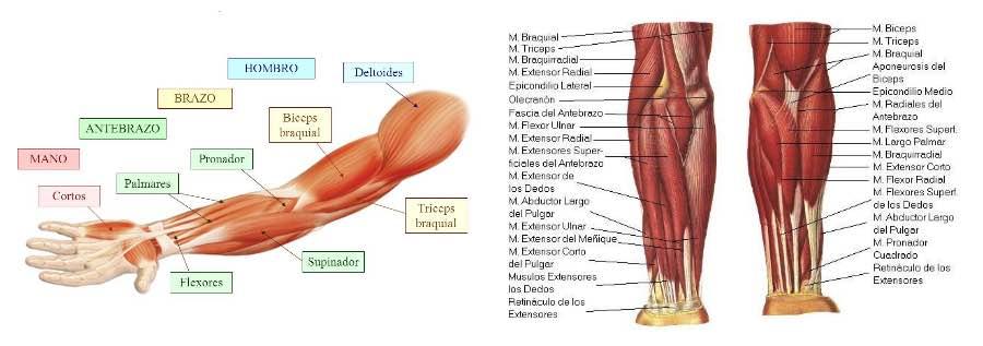 musculatura-brazo