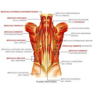musculos-profundos-de-la-espalda