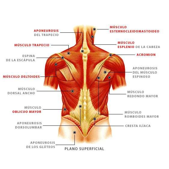 musculos-superficiales-de-la-espalda