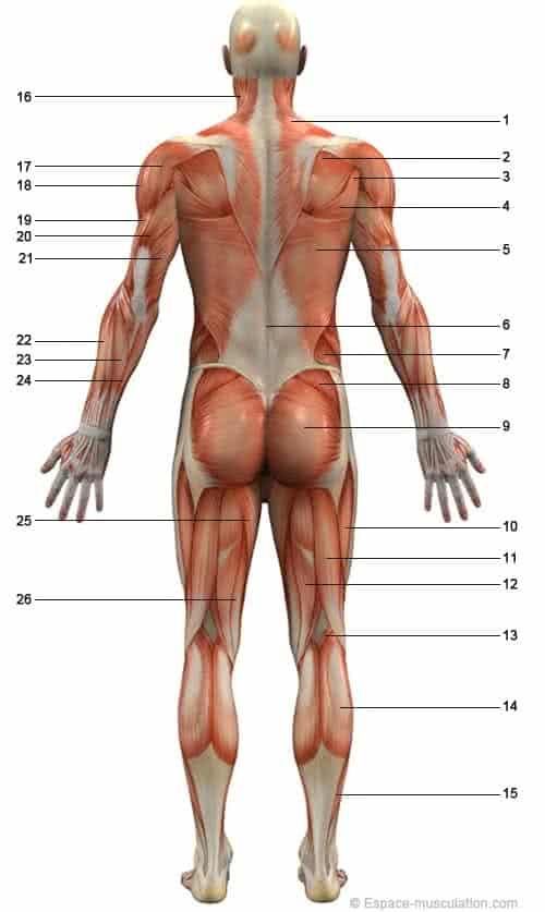 musculos-parte-posterior