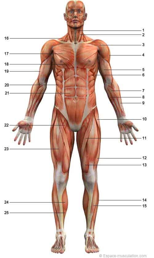 musculos-anteriores-cuerpo-humano