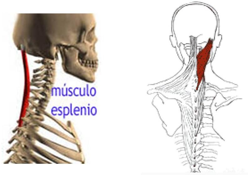 musculo-esplenio