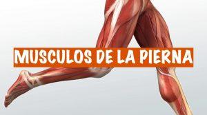 Musculos-pierna