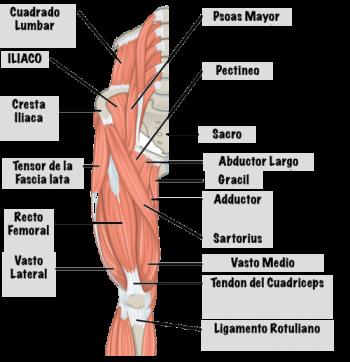 musculos-de-la-pierna-parte-frontal