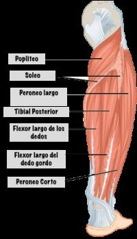 Imagenes musculos pierna derecha
