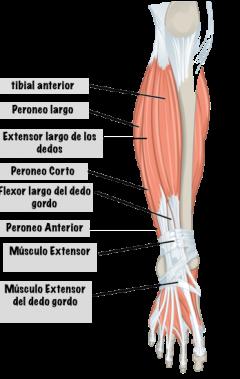 musculos-inferiores-de-la-pierna