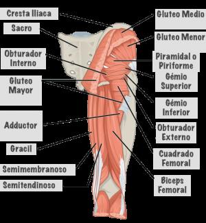 musculos-de-la-pierna
