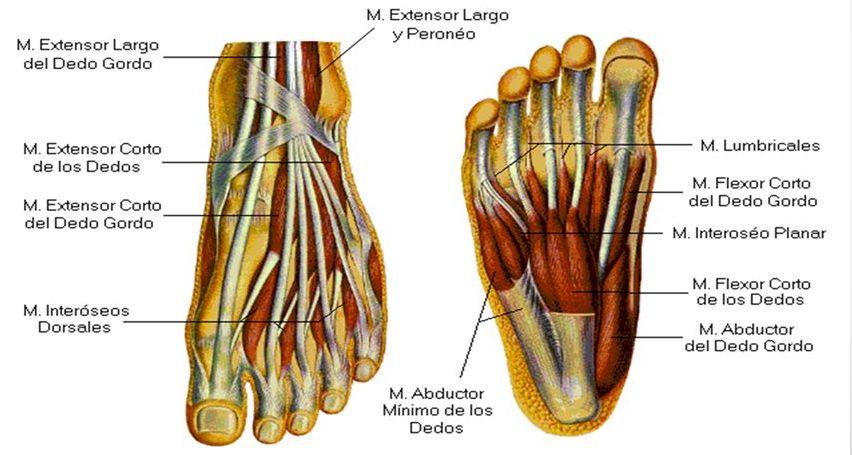 musculos-cortos-pie