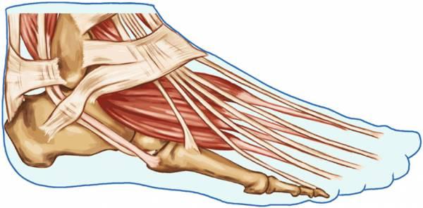 Musculos del Pie. Toda la información necesaria.