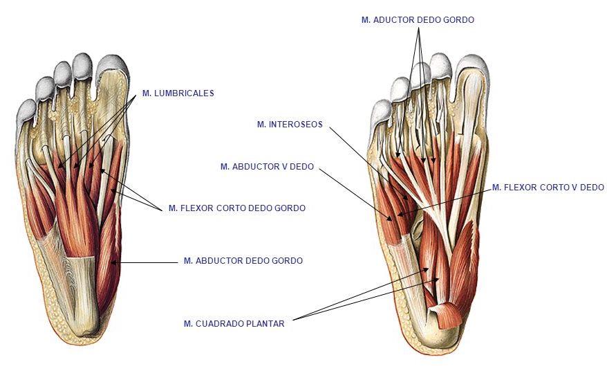 musculos-planta-pie