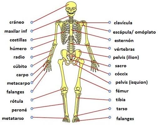 huesos-cuerpo-humano