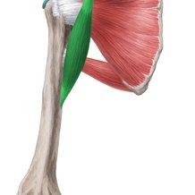 musculo-coracobraquial