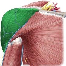musculo-deltoides
