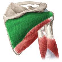 musculo-infraespinoso