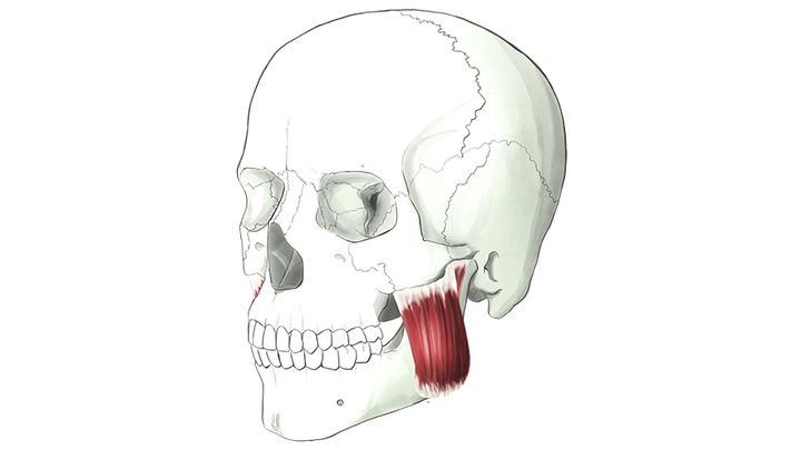 musculo-masetero