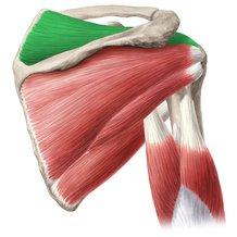 musculo-supraespinoso