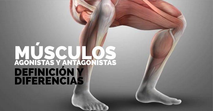 ¿ Cuales son los Músculos Antagonistas?