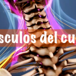 MUSCULOS DEL CUELLO. Funciones & Imágenes