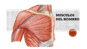 musculos-hombro