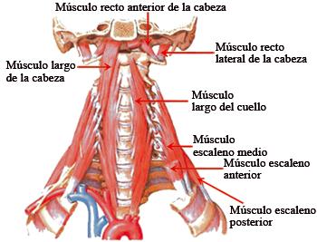 musculos-laterales-paravertebrales