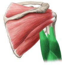 triceps-braquial