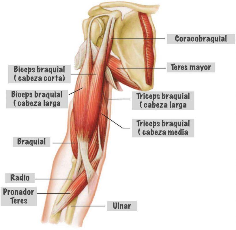 musculatura-del-brazo