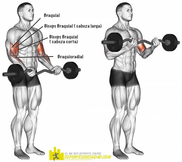 musculos-cur-biceps-barra
