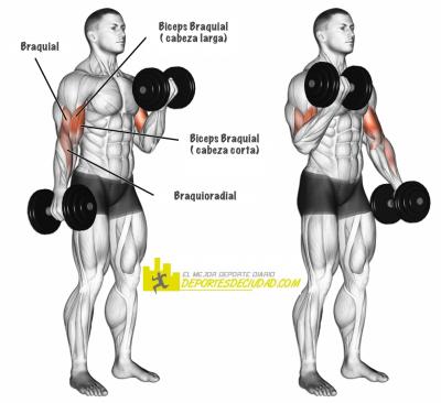 musculos-curl-biceps-mancuerna