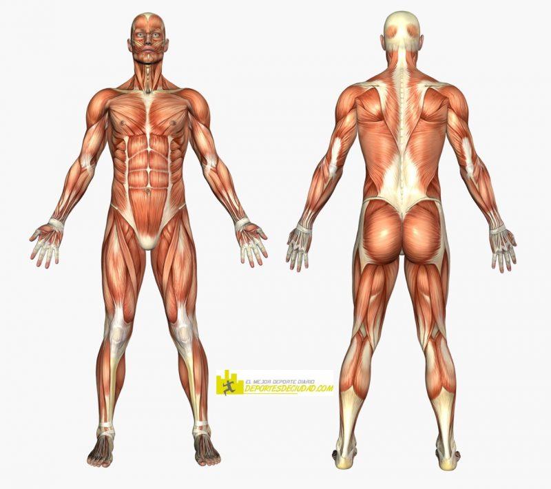 musculos-cuerpo-humano