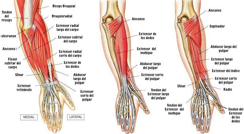 musculos-del-antebrazo-imagen