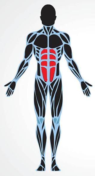 los músculos abdominales
