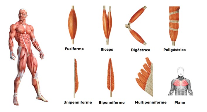 clasificacion musculos forma