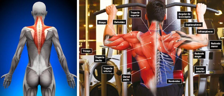musculo-trapecio