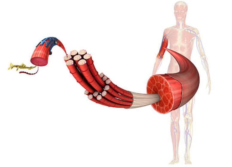 sistema-muscular